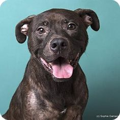 Pictures of Mosaic a Labrador Retriever/Pit Bull Terrier Mix for adoption in Anniston, AL who needs a loving home.