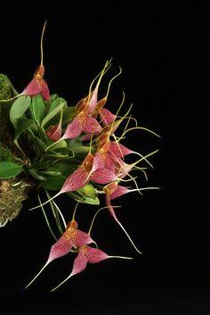 Masdevallia decumana orchid from Ecuador