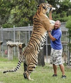 Funny pictures about Biggest Feline In The World. Oh, and cool pics about Biggest Feline In The World. Also, Biggest Feline In The World photos. Big Animals, Majestic Animals, Animals And Pets, Funny Animals, Beautiful Cats, Animals Beautiful, Beautiful Creatures, Siberian Tiger, Bengal Tiger