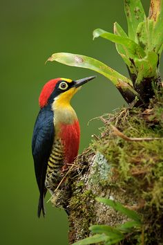 Foto benedito-de-testa-amarela (Melanerpes flavifrons) por Octavio Campos Salles | Wiki Aves - A Enciclopédia das Aves do Brasil