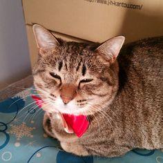 「おはにゃーん❗good morning ❗  #ねこ #猫 #猫写真 #ネコ #しましま軍団 #きじとら #きじねこ #キジトラ #キジネコ #cat #catstagram #igclubcats #ilovemycat #instacat #neko #tabby #kitty #meow…」