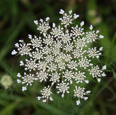 Queen Anne's Lace (Daucus carota) I always thought it was pretty so I'd pick them but Mom was allergic so I would put them in a vase outside.