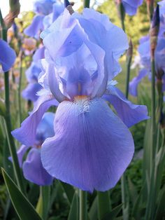 Iris 'Blue Rhythm' Could this be the same as my late Dad's favorite?We had these in our back yard.