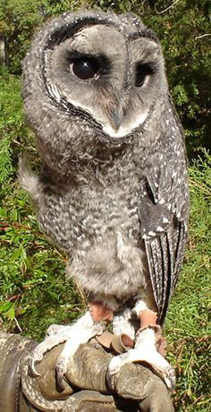 Lesser Sooty owl - inhabits the tropical mountain rainforests of north eastern Queensland, Australia.