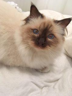 Kat Kat | Pawshake