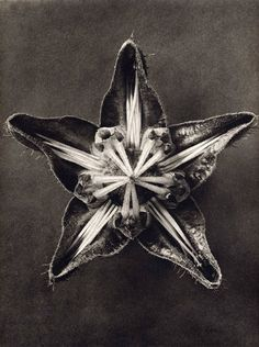 Photographs by Karl Blossfeldt
