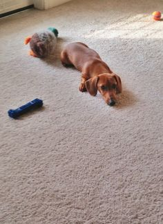 """Willie the mini dachshund: """"I don't want my toys, all I want is breakfast!"""""""