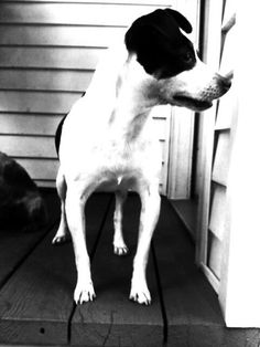 Rat terrier: Sweet, loyal, affectionate clowns I love 'em.