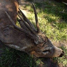 Another early success and what a beautiful result! Huge malformed Roe from the plains! (pc: J. Wittrédi)  #hunting #hungary #roebuck by hunting_hungary