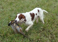 Red And White Setter, Brittany Spaniel Dogs, Hunter Dog, Large Dog Breeds, Wolfhound, Hunting Dogs, Spaniels, Jack Russell Terrier, Sheltie
