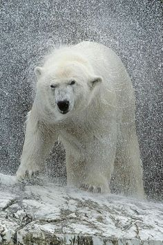 Shake it - Polar Bear. bear or el oso polar Beautiful Creatures, Animals Beautiful, Cute Animals, Wild Animals, Baby Animals, Mundo Animal, My Animal, Urso Bear, Photo Animaliere