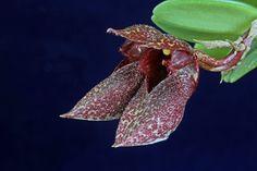 Cirrhopetalum frostii