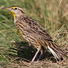 Pictures of State Birds - Photo Gallery Western Meadowlark State Birds, Big Bird, Bird Pictures, Little Birds, Bird Art, Bird Feathers, Beautiful Birds, Habitats, Photo Galleries