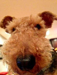 Topher - our Welsh Terrier!