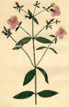 Rhexia Mariana., American. William P.c. Barton, Del. C. Tiebout, Engr. (Published: M. Carey & Sons 1821 Philadelphia)  From Barton's Flora of North America.