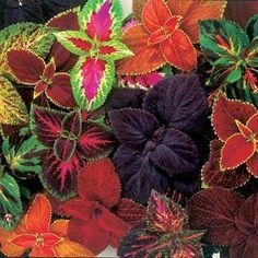 Solenostemon scutellarioides 'Rainbow mix' - Palettblad