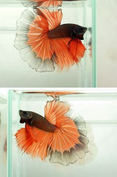 If you want to know how to take care of Betta fish, this article will help you get started and get rid of some of the most common misconceptions that people have about these fish. Colorful Animals, Colorful Fish, Tropical Fish, Cute Animals, Pretty Fish, Beautiful Fish, Beautiful Creatures, Animals Beautiful, Aquariums