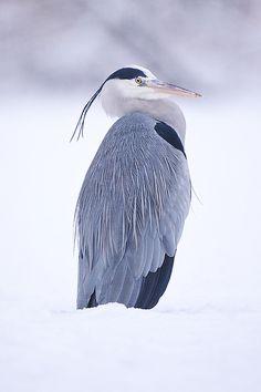 Grey Heron--Ardea cinerea