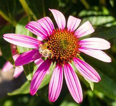 Beesy Bee - Beesy Bee Bee, Nature, Plants, Honey Bees, Naturaleza, Bees, Plant, Nature Illustration, Off Grid