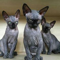 Animals And Pets, Baby Animals, Cute Animals, Cute Kittens, Cats And Kittens, Beautiful Cats, Animals Beautiful, Chat Bizarre, Animal Gato