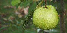 18 beneficios de las hojas de guayaba - Adelgazar en casa Benefits Of Potatoes, Boricua Recipes, Emergency Food, Health Remedies, Healthy Drinks, Food Processor Recipes, Food And Drink, Leaves, Organic