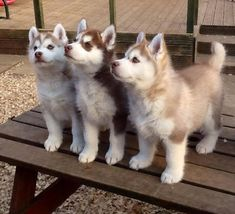 Cute puppies baby puppies, cute husky puppies, siberian husky p Cute Husky Puppies, Siberian Husky Puppies, Siberian Huskies, Funny Puppies, Huskies Puppies, Baby Huskies, Puppy Husky, Brown Husky Puppy, Husky Pomeranian Mix