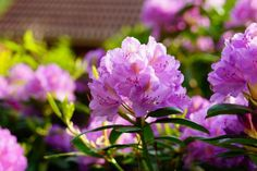 Rhododendrons & Azaleas: How to Plant, Grow, and Care for Rhododendron and Azalea Bushes | The Old Farmer's Almanac