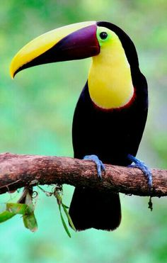 New Pictures tropical birds toucan Ideas : It's no solution in which the animal business is definitely impressive inside way too many approaches to count. Cute Birds, Pretty Birds, Beautiful Birds, Animals Beautiful, Tropical Birds, Exotic Birds, Colorful Birds, Puffins Bird, Bird Pictures