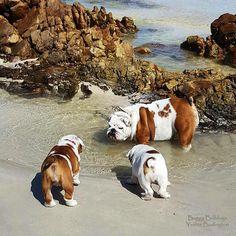 Beach Bulldogs ⛱