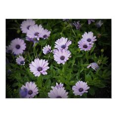 Purple Daisies Posters