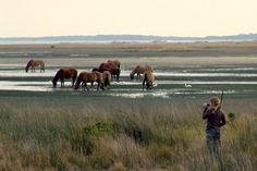 Wild Horses grazing near Beaufort, NC