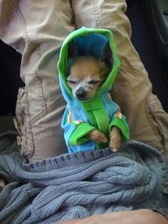 Awww! Just think spring lil chi... #chihuahua