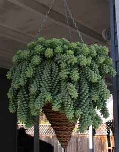 Donkey's tail succulents (Sedum morganianum) grow long trailing branches featuring bulbous light blue-green leaves approximately 1/2 inch long. The leaves resemble jelly beans; the plant is also called the burro's tail or jelly bean plant. The above hanging succulent by William Joyce Design