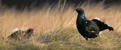 Image result for black grouse