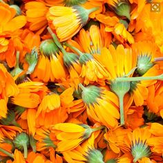Calendula blooms - From juices, soups, salves, tinctures, and herbal teas to sacred altars, these sunny blooms brighten up all kinds of herbal rituals. #essentialoils  #plantbased  #healing  #homeopathic  #rememdy  #DIY  #healingplants #traditionalmedicinals