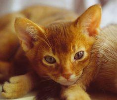 Abyssinian Cat Association