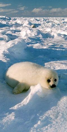 baby harp seal....# animals #