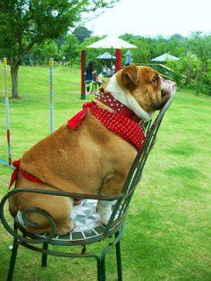 ❤ Picnic ~ bulldog style ❤ Posted on Bulldog Pics