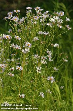 Aster, Native Plants, Pacific Northwest, Garden Plants, Montana, Wild Flowers, Gardens, Flathead Lake Montana, Wildflowers