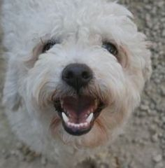 Carmen is an adoptable Poodle Dog in Canoga Park, CA. This adorable petite girl is just a love.  Hurry in to meet her ! For more info on this dog, please call our shelter between 1:00 and 5:00 p.m. Tu...