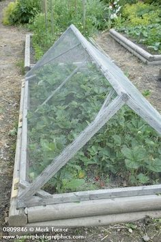 Wire mesh cover over strawberries in raised bed vegetable garden [Fragaria cv.]. Reid, Christina Lake, BC. © Mark Turner #raisedgardenbeds  #vegetablegardeningideas