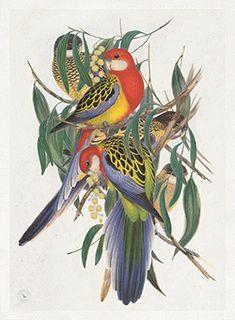 TROWBRIDGE - British Museum Parrots - in Silver lattice on mahogany (Frame Code: 978)