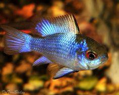 ram cichlid | ... ram cichlid blue ram cichlid blue ram cichlid breeding blue ram