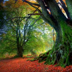 Autumn leaves on two huge ancient beech trees deep in a forest, Perthshire, Scotland