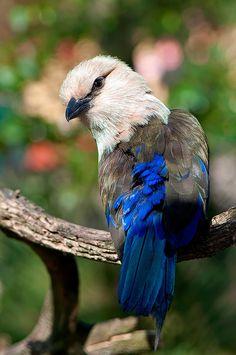 Blue-bellied Roller by Supervliegzus, via Flickr