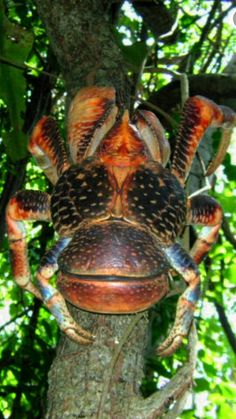 Coconut Crab: Is a large edible land crab related to the hermit crab. ~ [Wikipedia]