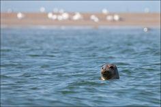 Seal / Zeehond voor de kust van Ouddorp