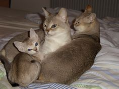 The Singapura Cat is a stocky, averagely muscular breed of cats characterized by large almond-shaped, outlined eyes, and big, deep cupped ears. They are one of the smallest breeds of cats of the modern … Crazy Cat Lady, Crazy Cats, Small Cat Breeds, Singapura Cat, Baby Animals, Cute Animals, Bobtail Cat, Types Of Cats, Beautiful Cats