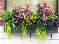 a dramatic plant color scheme window box for shady locations.left to right, boston fern, 1 solid purple and 2 variegated coleus (purple+green), purple sweet potato vine and trailing creeping jenny. oh happy coleus! Garden Planters, Flower Pots, Amazing Flowers, Shade Plants, Container Flowers, Garden Containers, Window Box Flowers, Plants, Planter Box Plans
