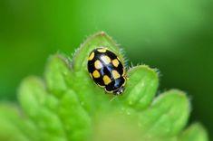 Coccinelle à damier Site Photo, Damier, Animals, Ladybugs, Animales, Animaux, Animal, Animais